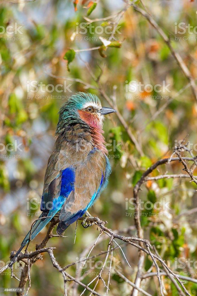 Afrikanischer Vogel stock photo