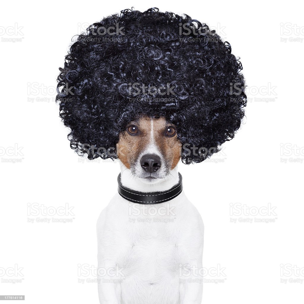 afro look hair dog funny stock photo