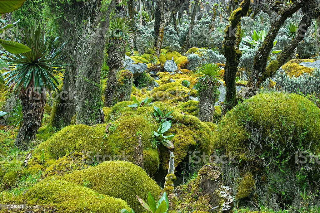 afro-alpine vegetation on Mt. Rwenzori in Uganda stock photo