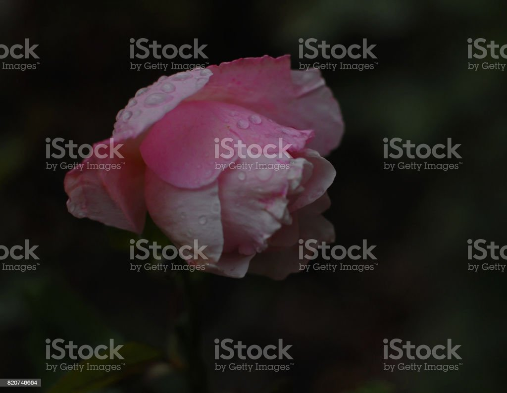 After the rain Pink Rose stock photo