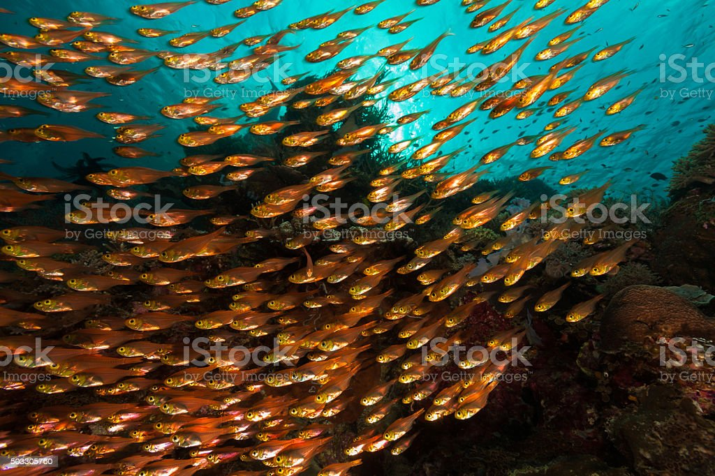 Afternoon Fish Ballet of Pigmy Sweepers, Komodo National Park, Indonesia stock photo