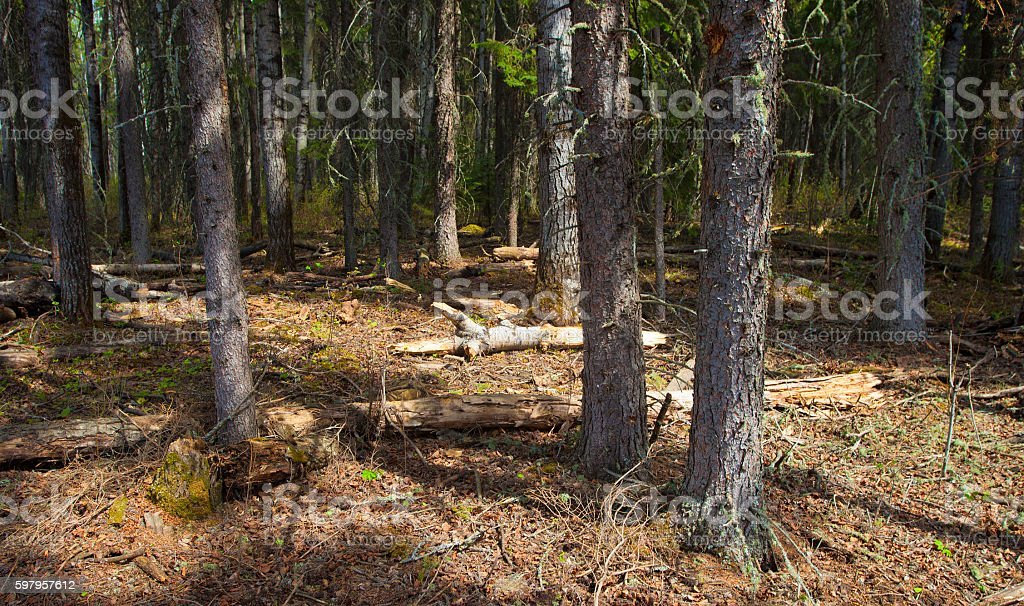 Afternoon forest stock photo