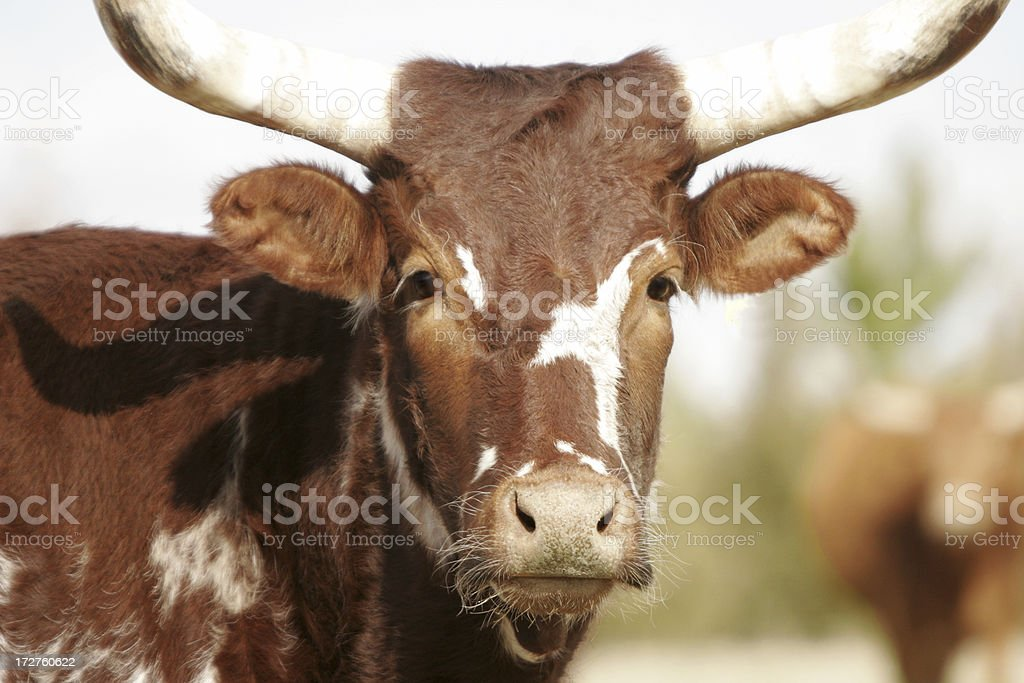 Ag Series: Cattle royalty-free stock photo
