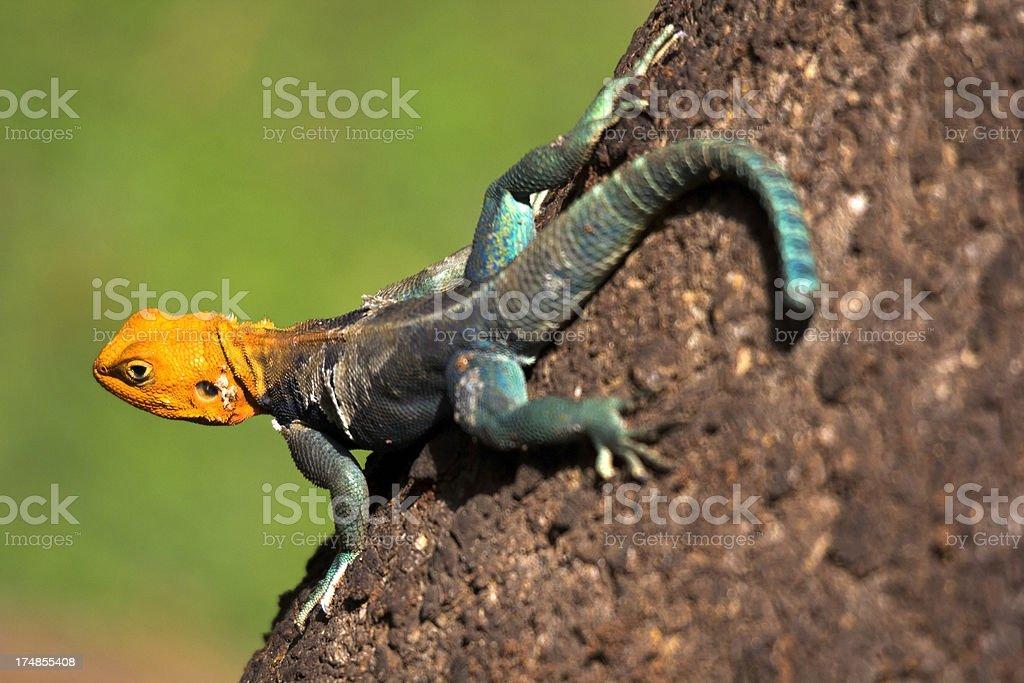 Agama lizard royalty-free stock photo