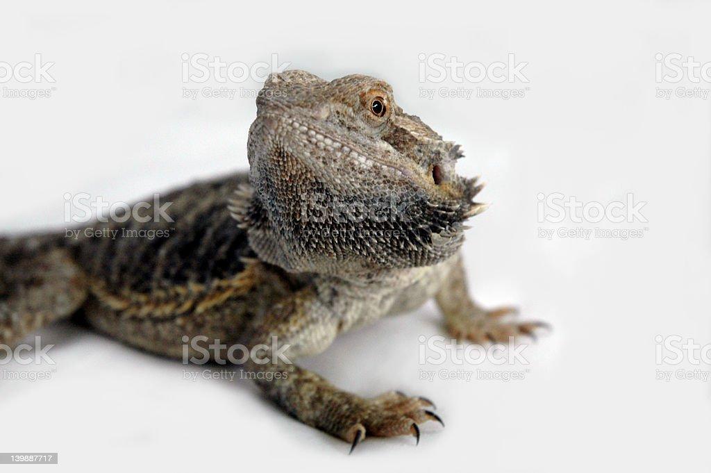 Agama-Lizard stock photo