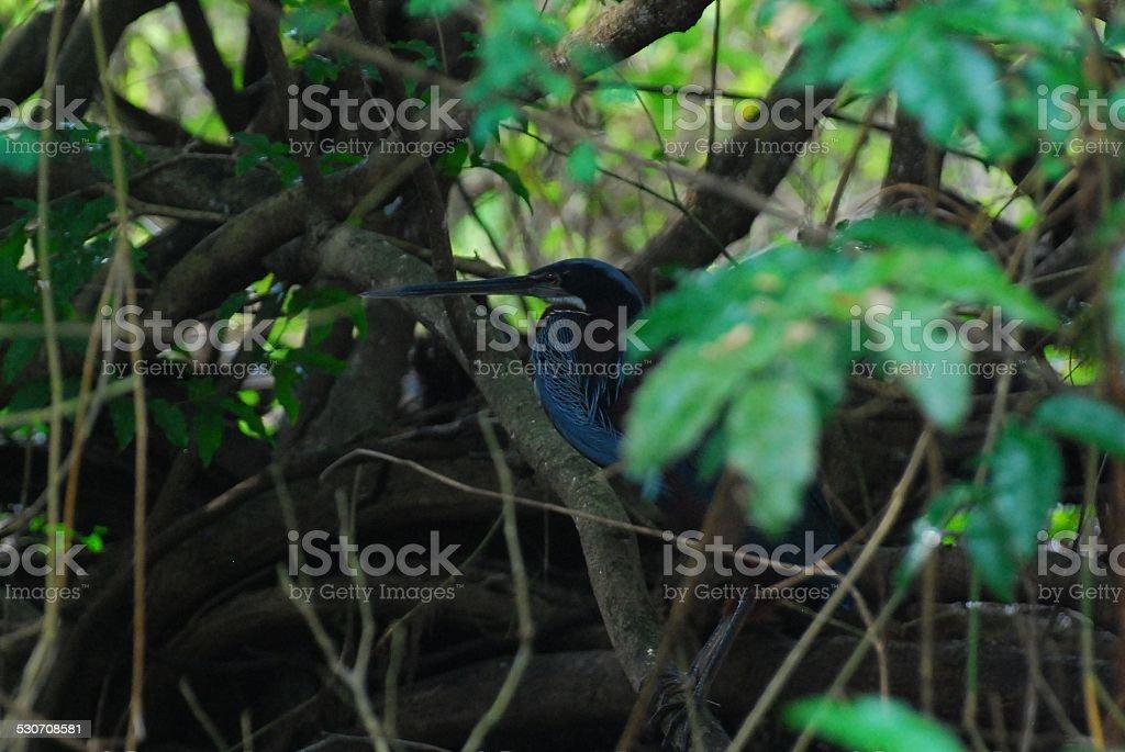 Agami Heron at Crooked Tree royalty-free stock photo