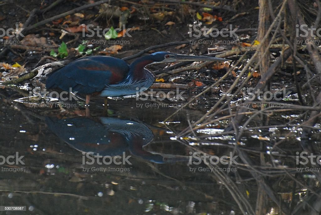 Agami Heron Reflected in Water at Crooked Tree royalty-free stock photo