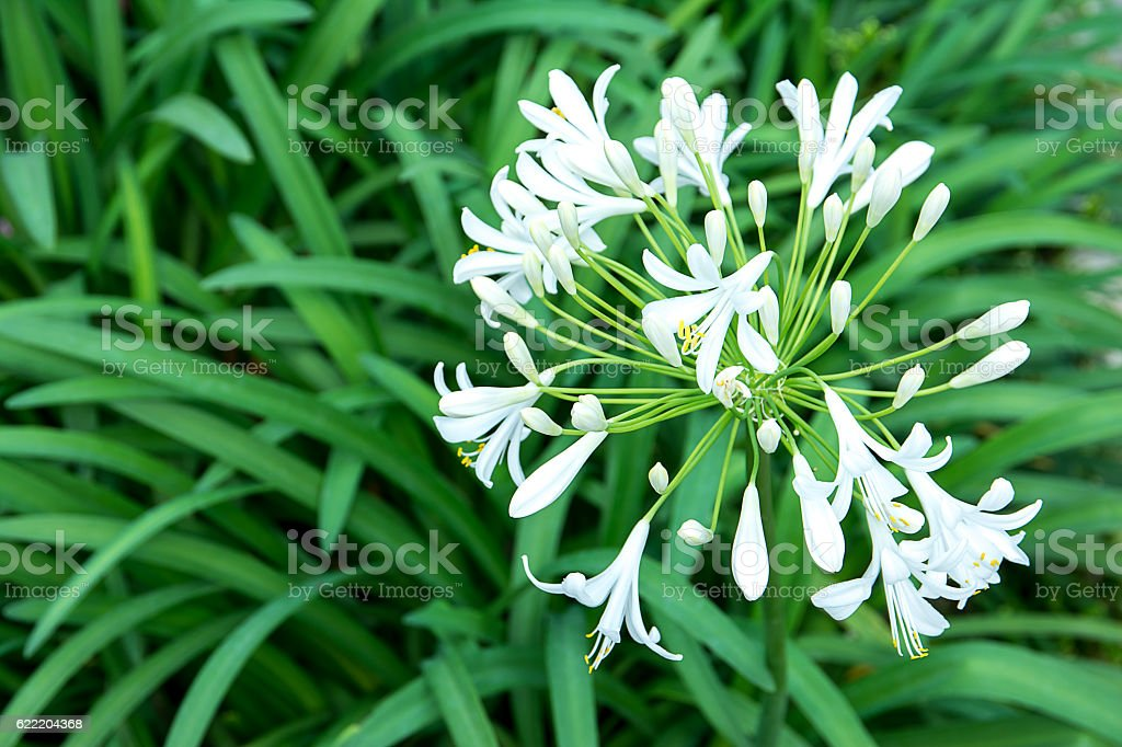 Agapanthus Africanus,AMARYLLIDCEAE stock photo