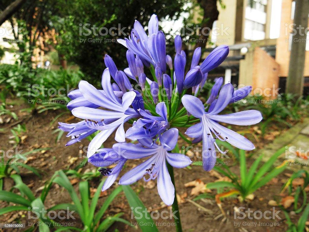 Agapanthus blue flower royalty-free stock photo