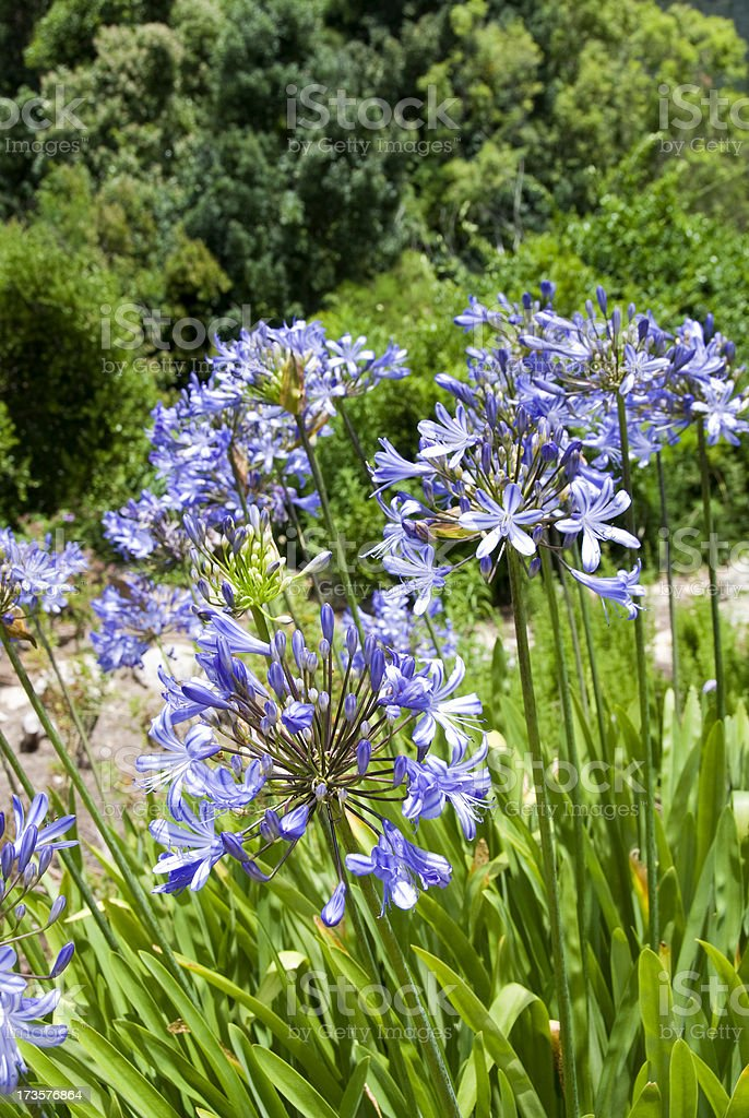 Agapanthus stock photo