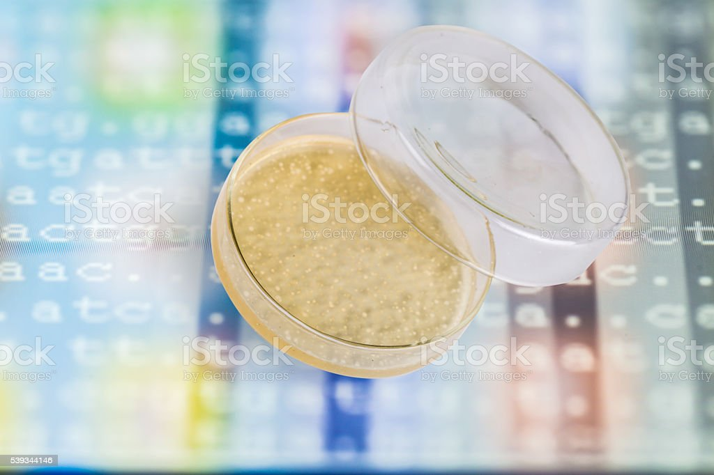 agar plate with Ecoli. colonies growing inside stock photo