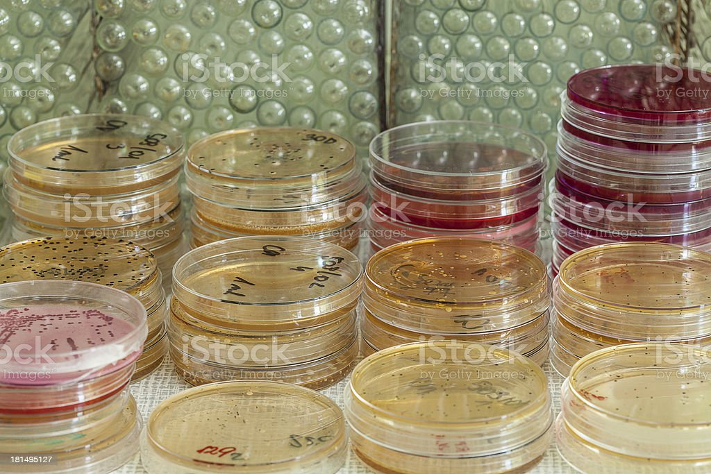 Agar plates with bacterias royalty-free stock photo