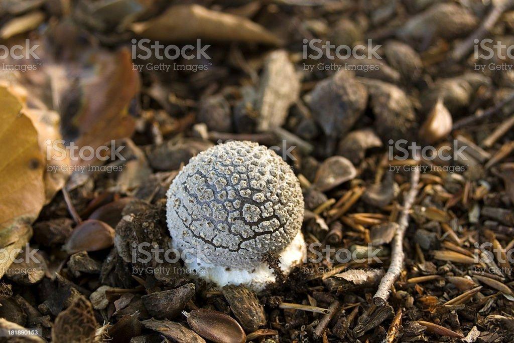 Agaric Fungus (Amanita rubescens) stock photo