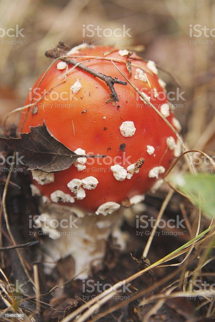 Agaric mushroom. Hallucinogen stock photo