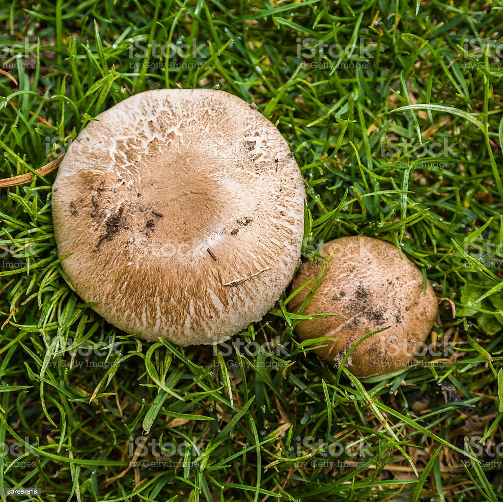Agaricus campestris (family: Agaricaceae). Aosta Valley, Italy stock photo