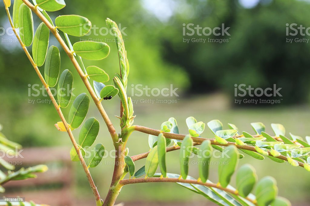 Agasta as Thai Local Vegetables with Medicinal Properties. stock photo