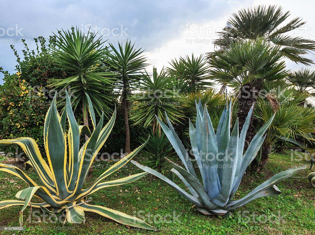 Agava plants and palm trees. stock photo