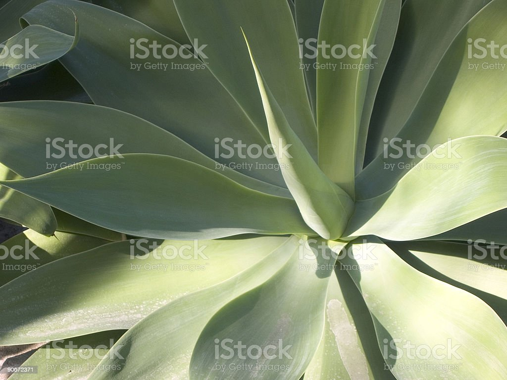 agave 2 royalty-free stock photo