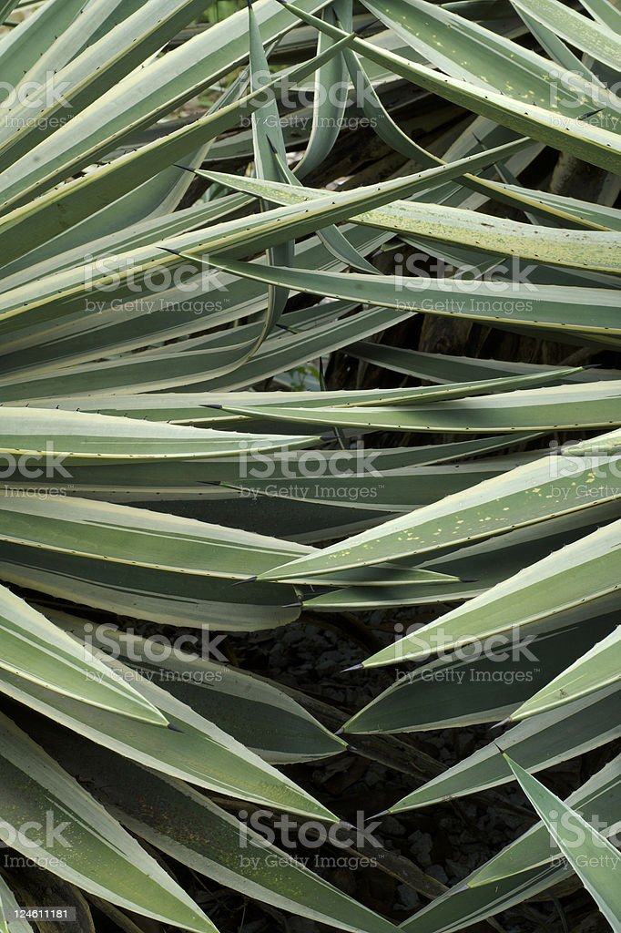 agave americana marginata stock photo