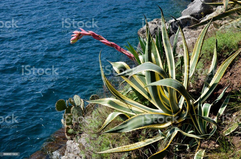 Agave americana marginata with flower stock photo