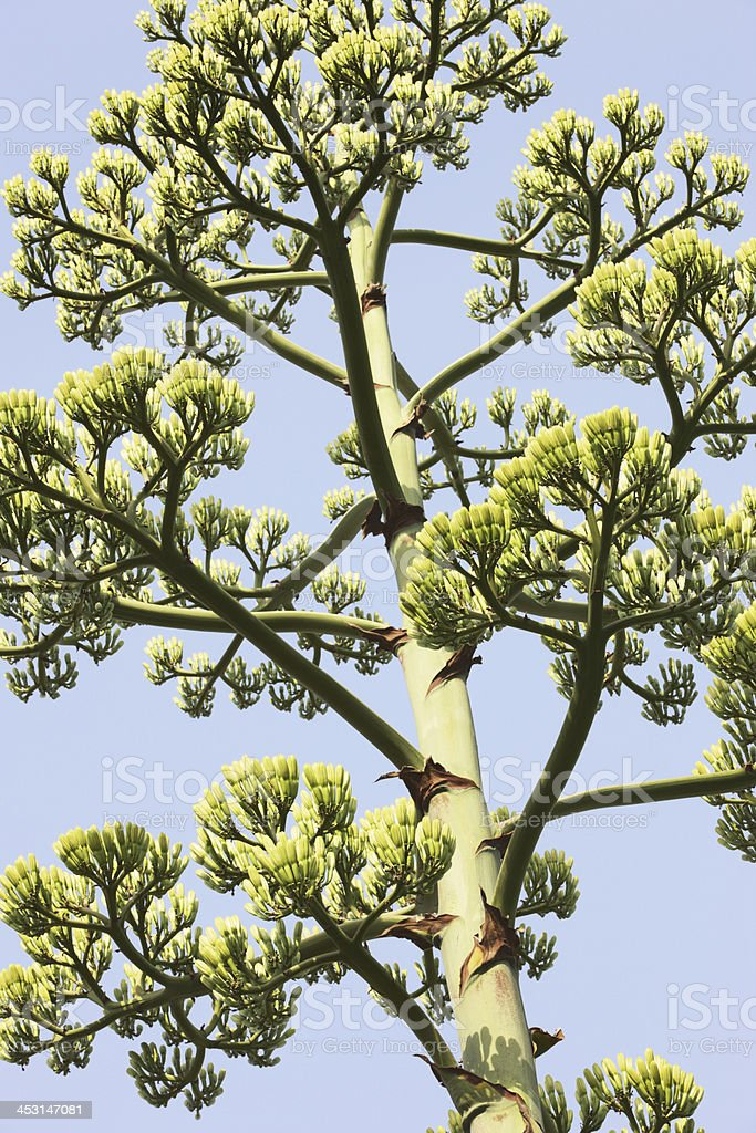 Agave americana parryi Century Plant royalty-free stock photo