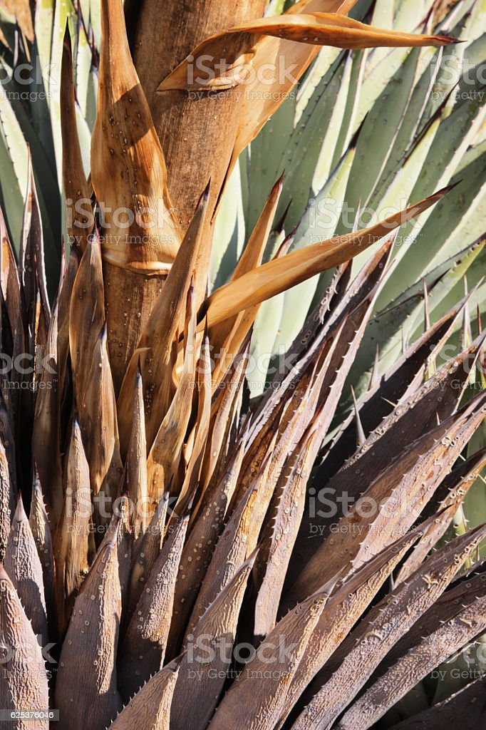 Agave americana Plant Leaves Stalk stock photo