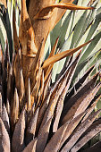 Agave americana Plant Leaves Stalk