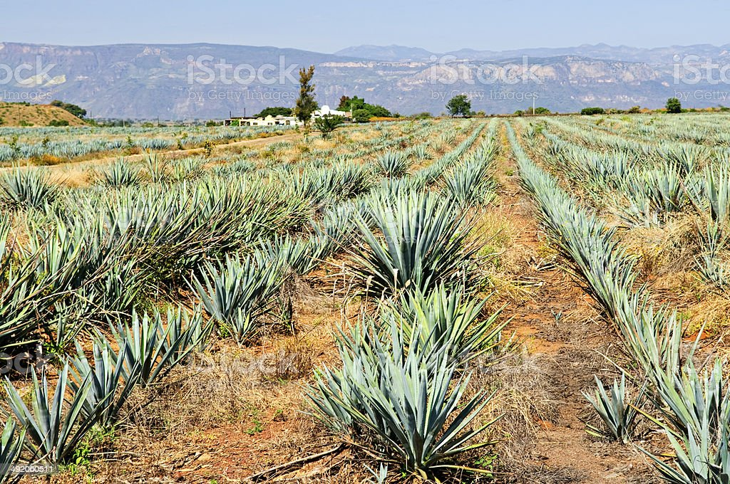 Agave cactus field in Mexico stock photo