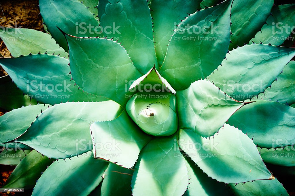 agave closeup stock photo