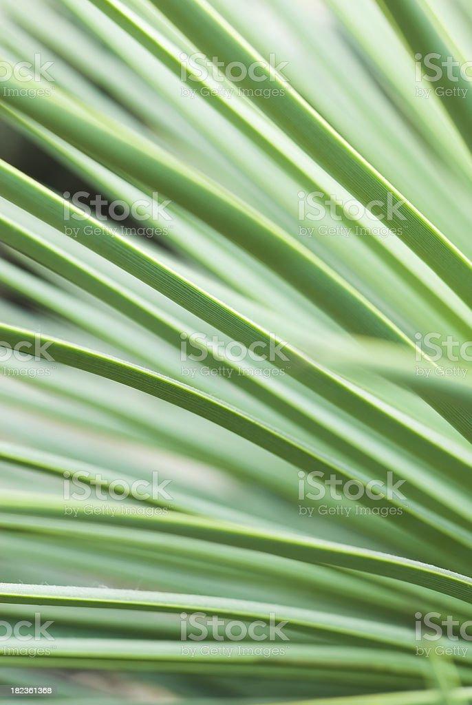 Agave echinoides - II royalty-free stock photo