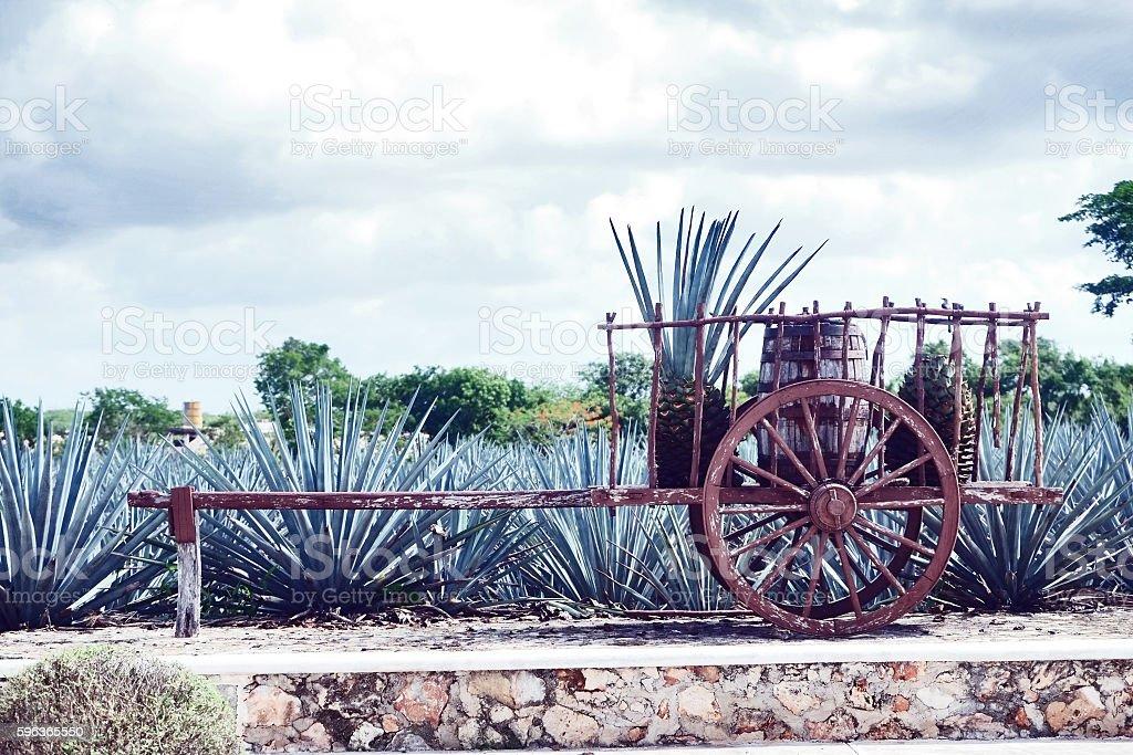 Agave Farm in Mexico stock photo