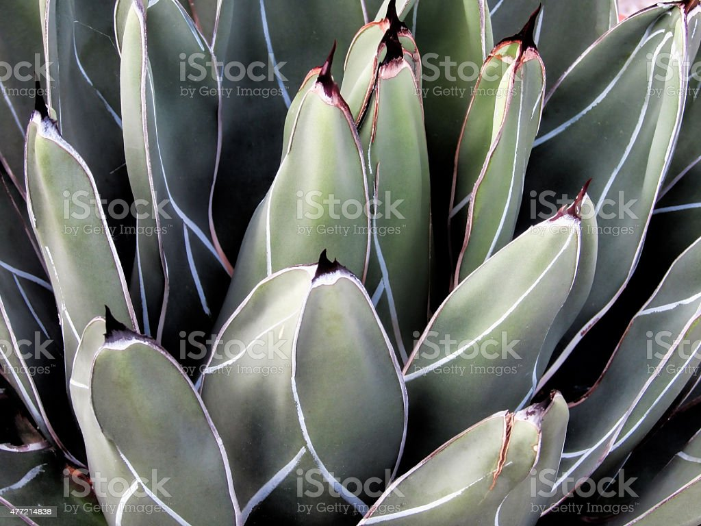 Agave ferdinandi regis stock photo