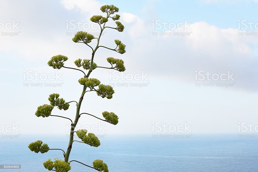 Agave flower and plant with mediterranean sea stock photo