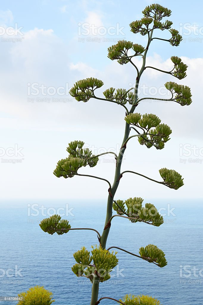 Agave flower and plant with mediterranean sea view stock photo