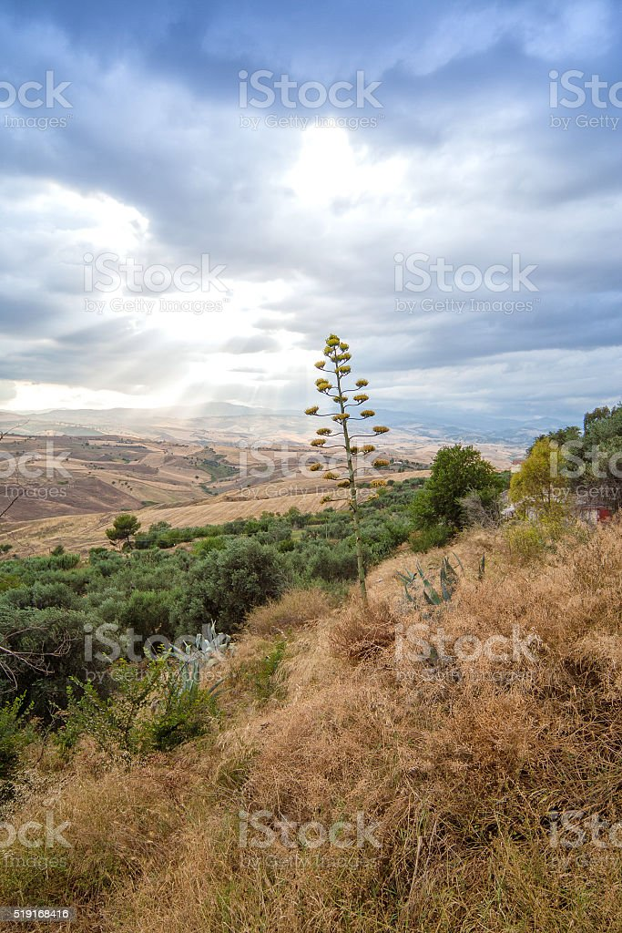 Agave Flower over Field in Basilicata, Italy stock photo