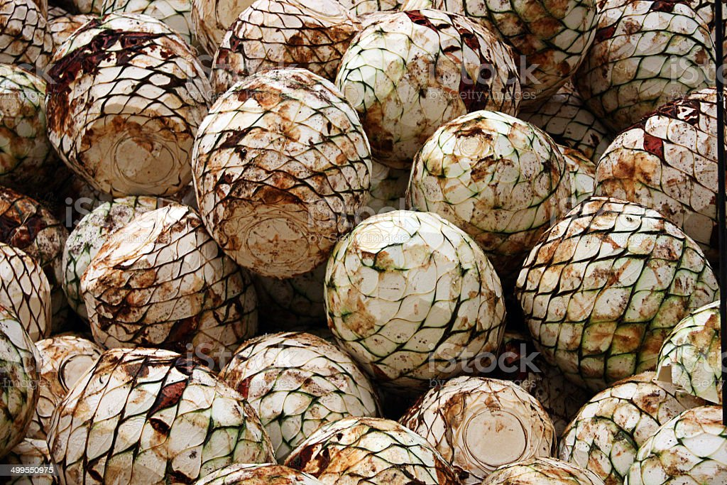 agave heads freshly cut stock photo