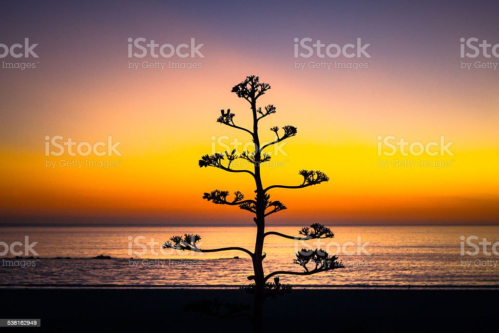 Agave In Bloom At Twilight, Palisades Park, Santa Monica royalty-free stock photo