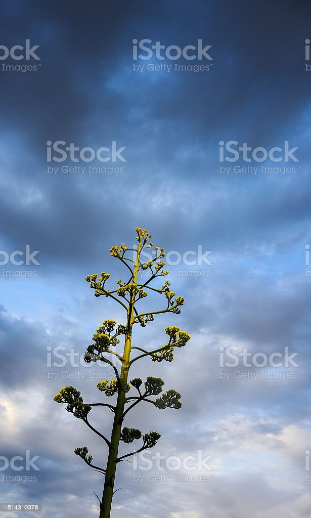 Agave vor dunklem Himmel stock photo
