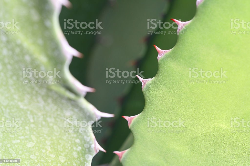 Agave leaf royalty-free stock photo