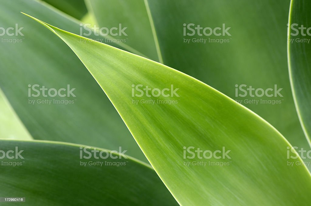Agave leaves royalty-free stock photo