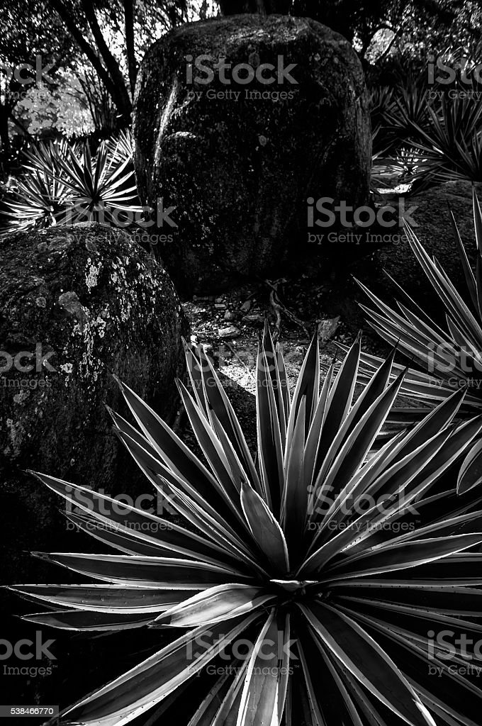 Agave Leaves With Big Rock n Black and White stock photo