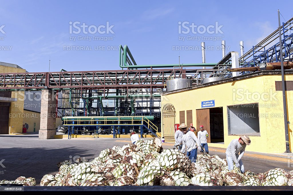 Agave Pineapples at Distillery stock photo