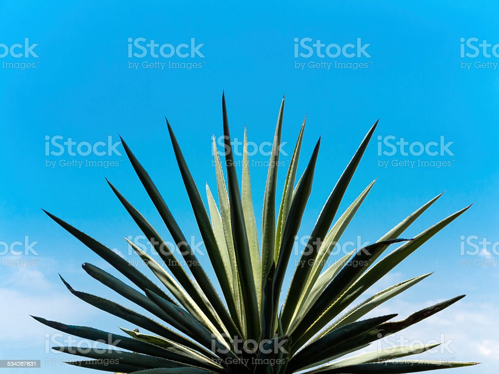 Agave plant and blue sky stock photo