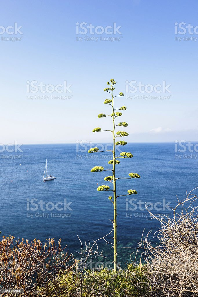 Agave Plant Blooming Against Blue Sea stock photo