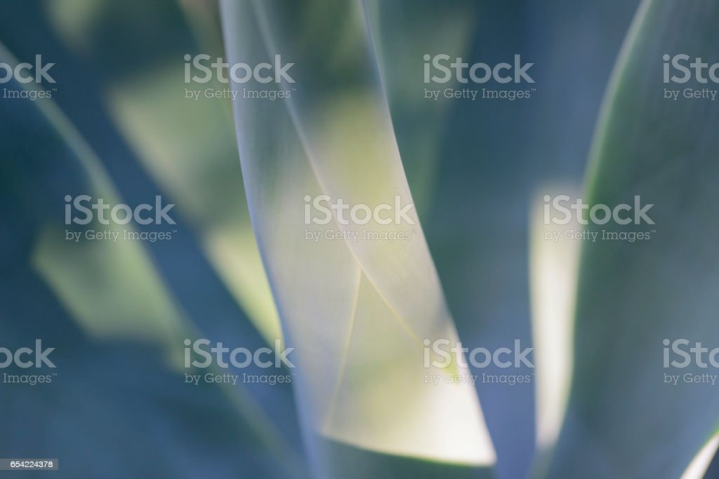 Agave plant close up stock photo