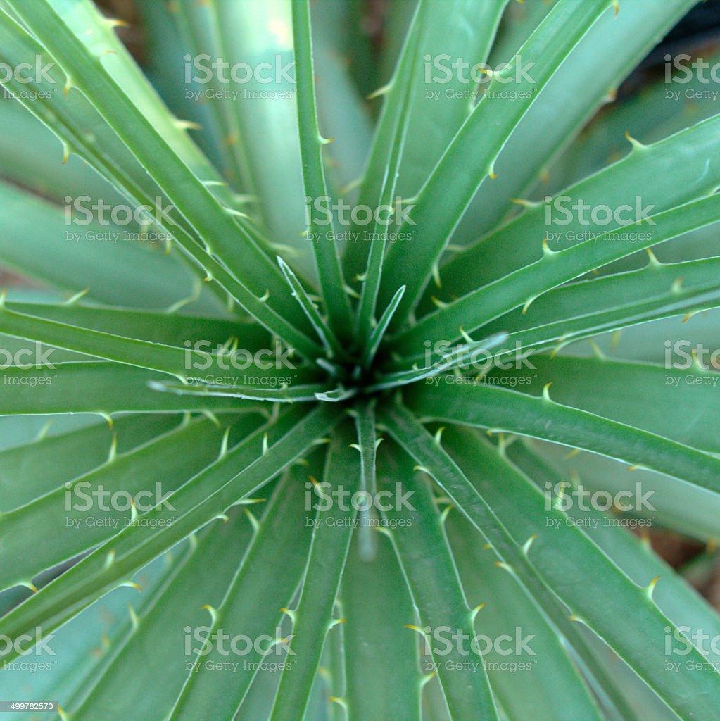 Agave plant in desert stock photo
