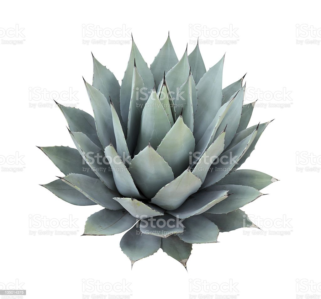 Agave plant isolated on white royalty-free stock photo