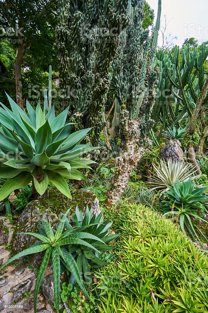 agave plant leaves stock photo