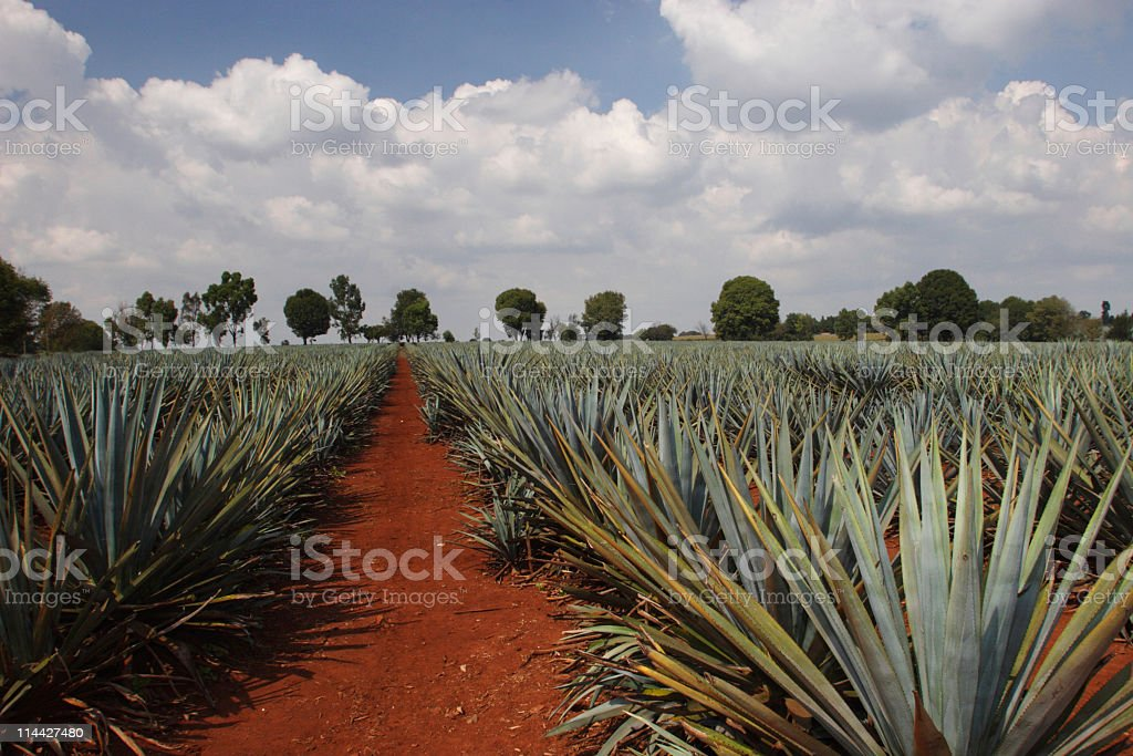 Agave plantation stock photo