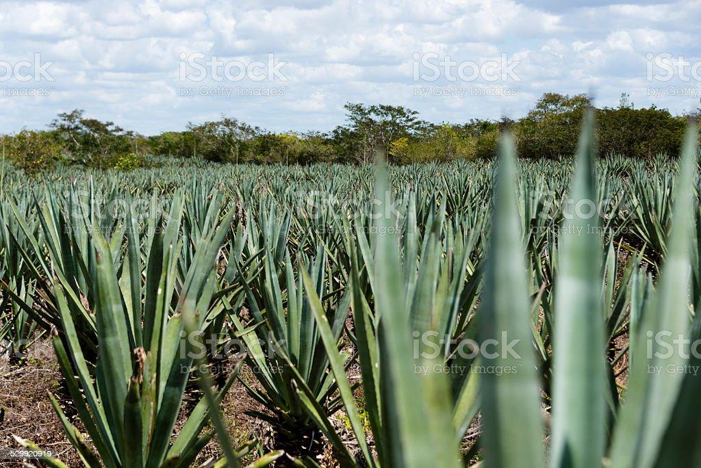 XXXL: Agave plantation stock photo
